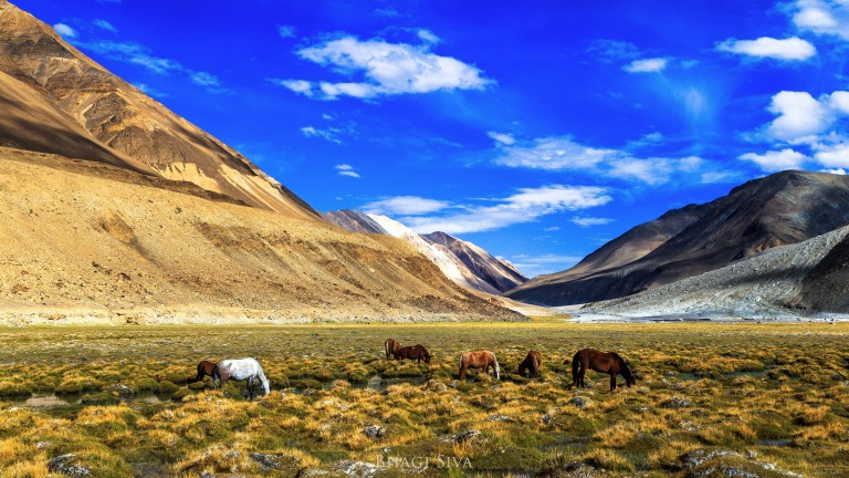 Beautiful grazing ground and horses near Pangong lake