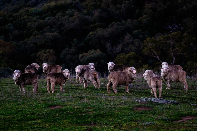 Herd of sheep in Central western NSW plains.