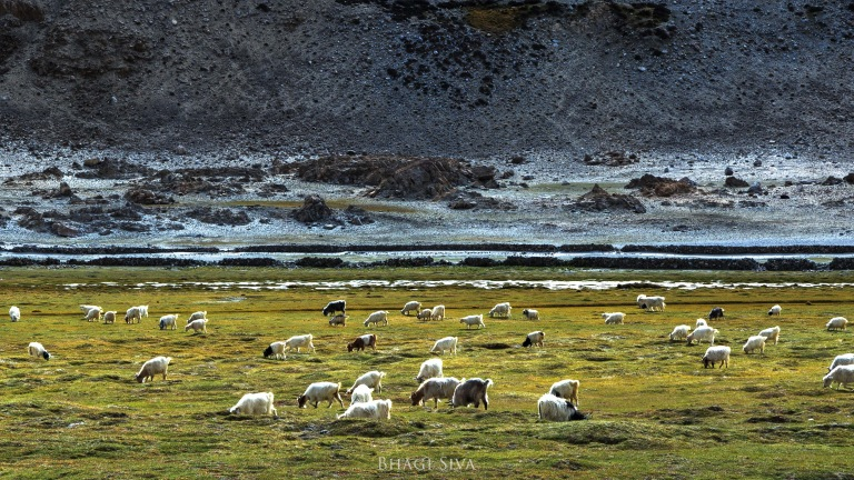 Pashmina Goats in Himalayan grazing grounds